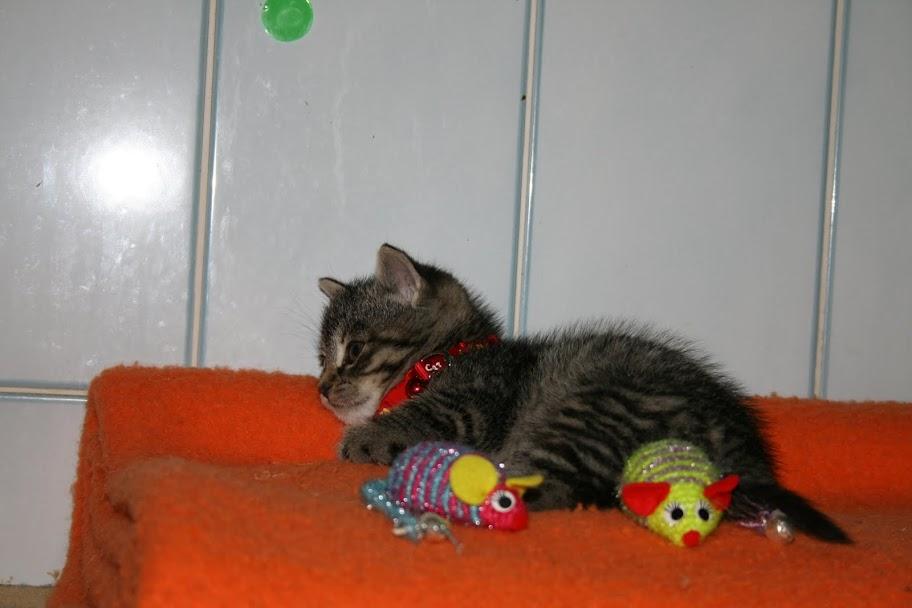 ZELIE & CLEMENTINE, chatonnes de 6 semaines à Lesquin (59) IMG_5055