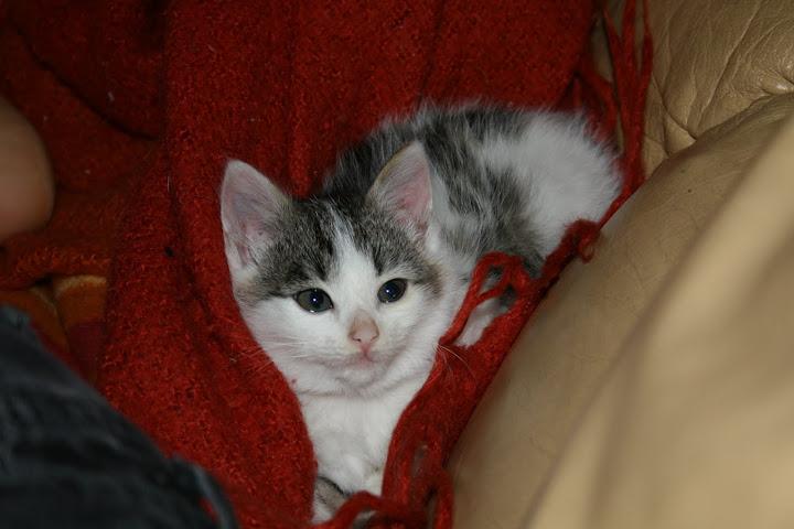 ZELIE & CLEMENTINE, chatonnes de 6 semaines à Lesquin (59) IMG_5065