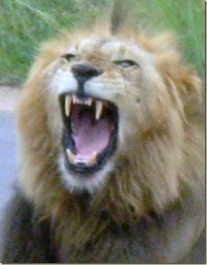 Lion yawn Kruger National Park Mpumalanga South Africa