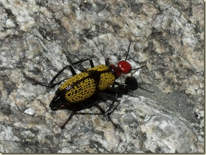 01 Iron Cross Blister Beetle Weaver Mts Yarnell AZ