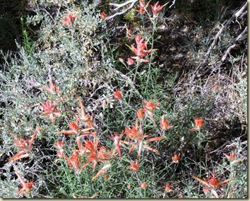 06 Indian paintbrush Cape Royal trail Walhalla Plateau NR GRCA NP AZ (1024x821)