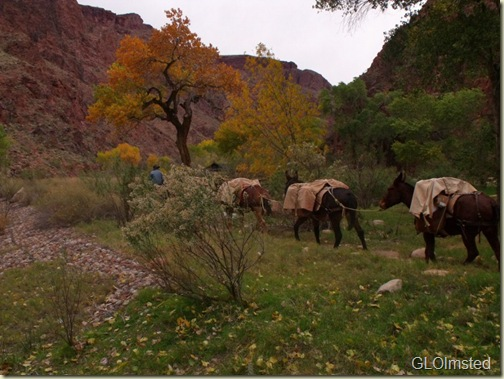 06 Mule pack train coming into Phantom Ranch GRCA NP AZ (800x600)