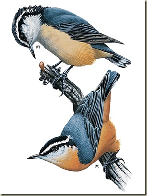 03 red-breasted-nuthatch_16814_435x580 illus by H Douglas Pratt