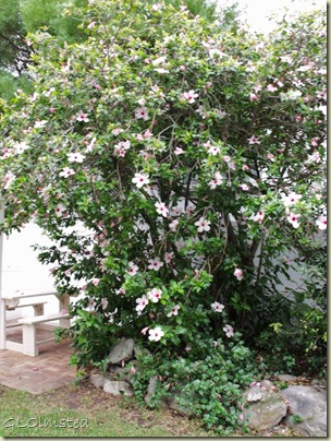 07 Flowering tree at Anchors Rest B&B Hermanus Western Cape ZA (768x1024)
