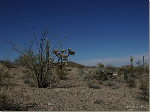 04 Ocotillo, saguaros & chollas in desert off Freeman Rd AZ (1024x768)