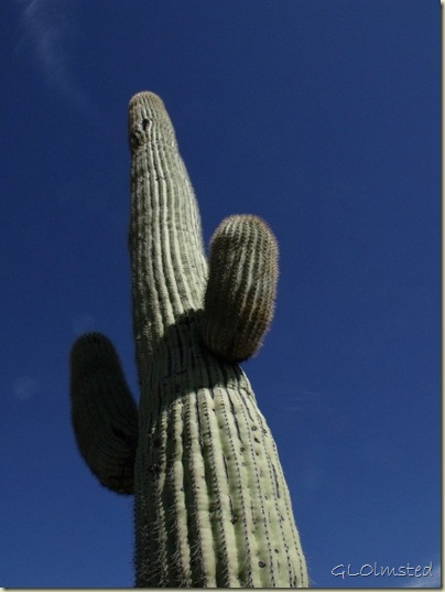 09 Saguaro BLM desert off Vulture Mine Rd Wickenburg AZ (768x1024)