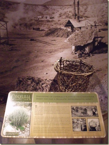 04 Candelilla plant display Museum of the Big Bend Alpine TX (768x1024)