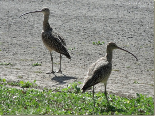 01 Long-billed curlews San Benito TX (1024x767)