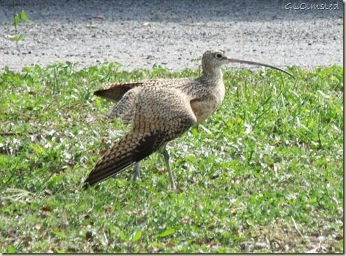 02 Long-billed curlew San Benito TX (1024x757)
