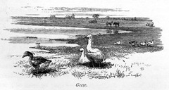 Geese005