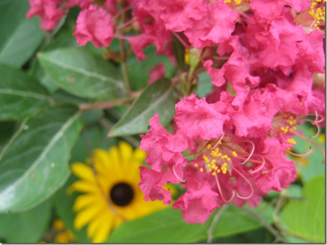 Crepe myrtle flower and black eyed susan