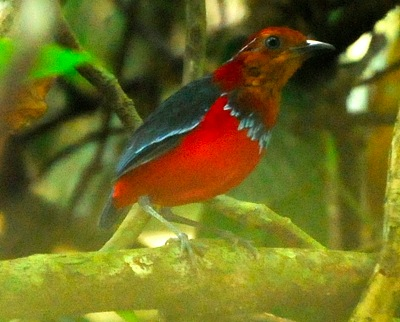 Blue-banded Pitta (Pitta arcuata)