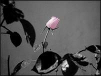 Rosas 07 [640x480]