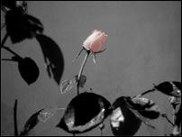 Rosas 12 [640x480]