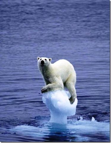 Urso Polar surpreendido pelos rápido derretimento do gelo.