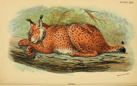 Lydekker_-_Lynx