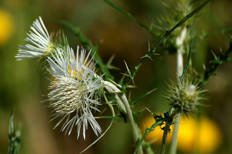 Flor de cardo branca