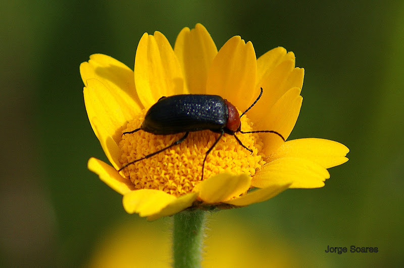 O escaravelho