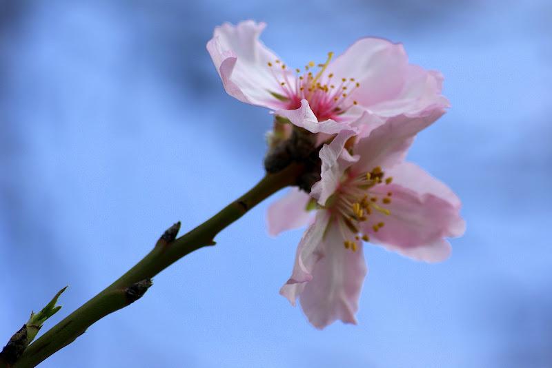Flor de pessegueiro em Albarquel