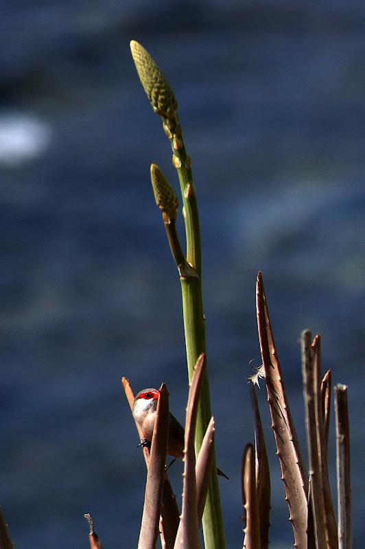 Pássaros em Cabo Verde