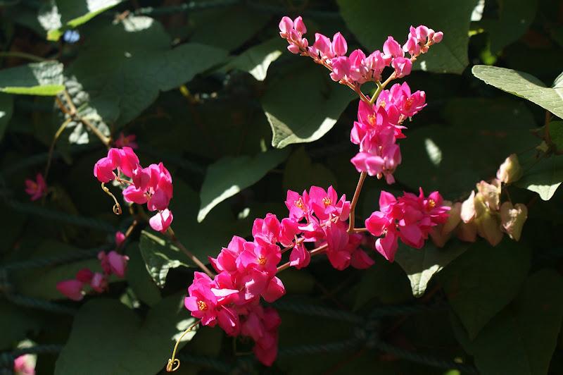 Flores de CAbo Verde