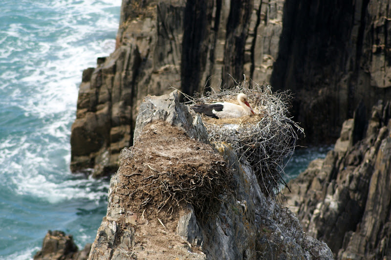 Cegonhas na escarpa, Cabo Sardão