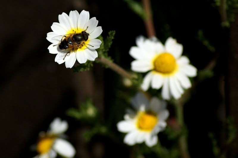 Sirfideo nas flores silvestres