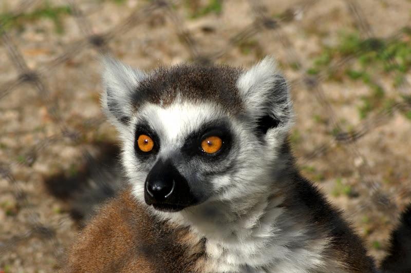 Lémurs do Monte Selvagem