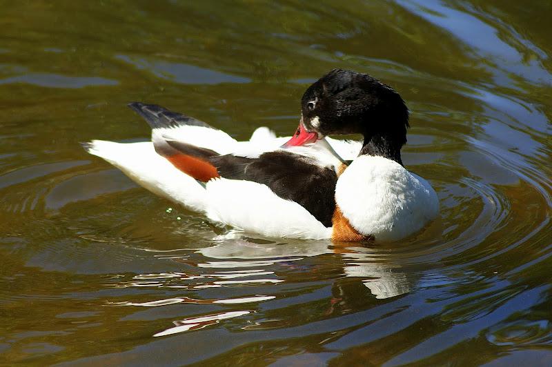 Pato no Jardim do Bonfim