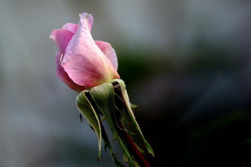 Botão de rosa cor de rosa