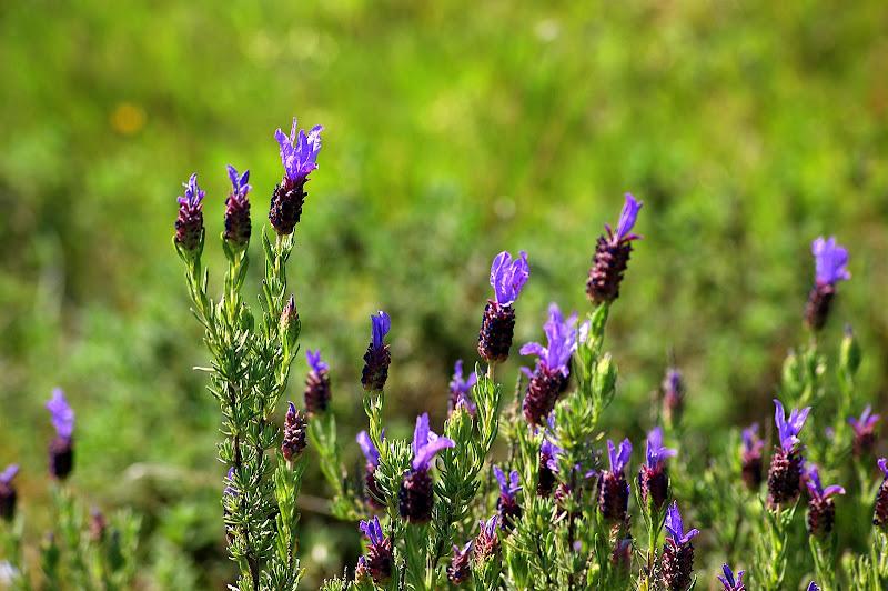 Flores silvestres da serra da Arrábida