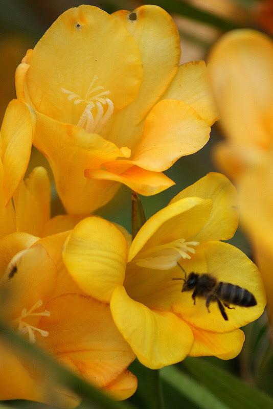 A abelha nas flores amarelas