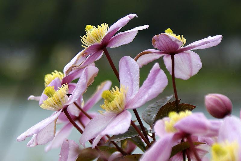 Flores da Irlanda