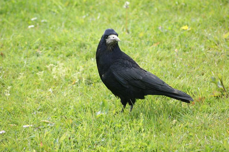 Corvo na Relva, carrigaline, Irlanda