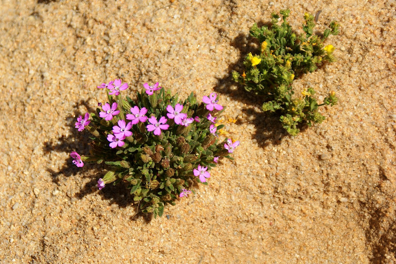 Flores entre as dunas, Alentejo
