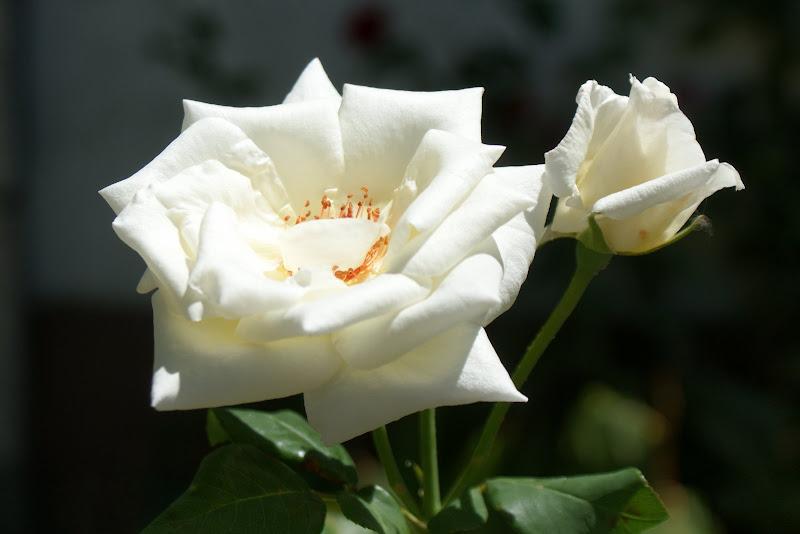 Rosas brancas em Bragança