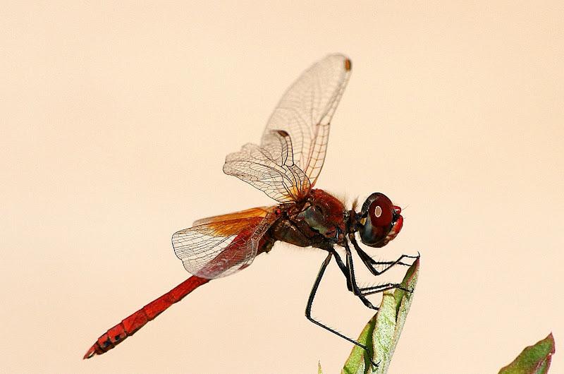 Sympetrum fonscolombei, Libelinha vermelha