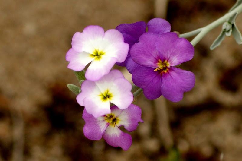 Flores das dunas