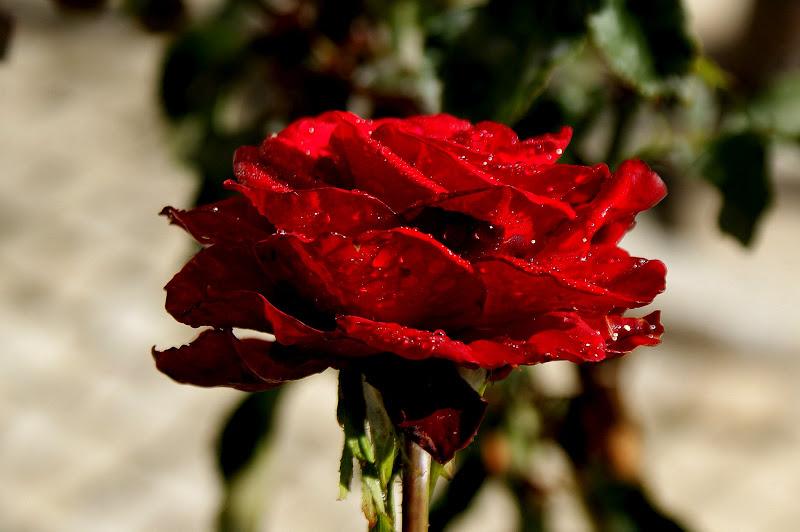 Gotas de chuva na rosa