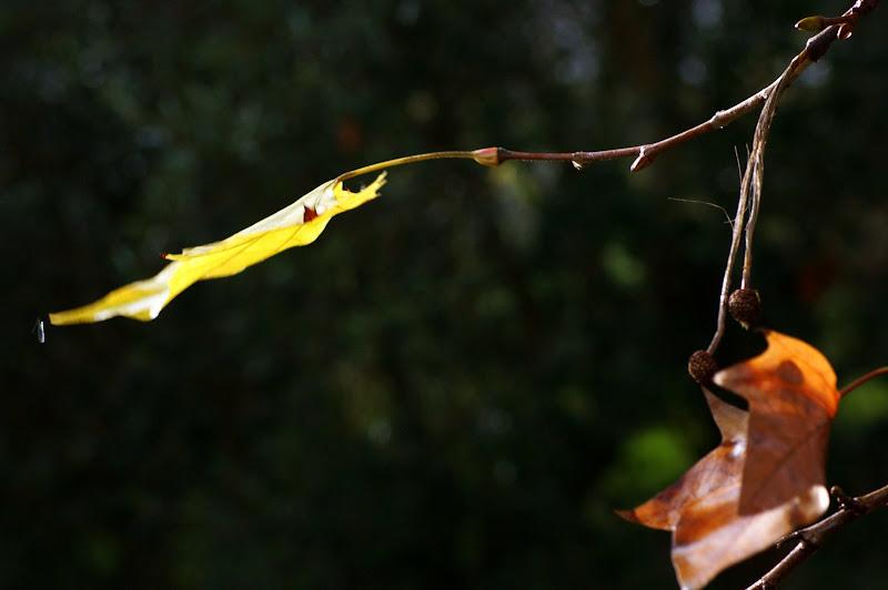 Folha de plátano, cores do Outono