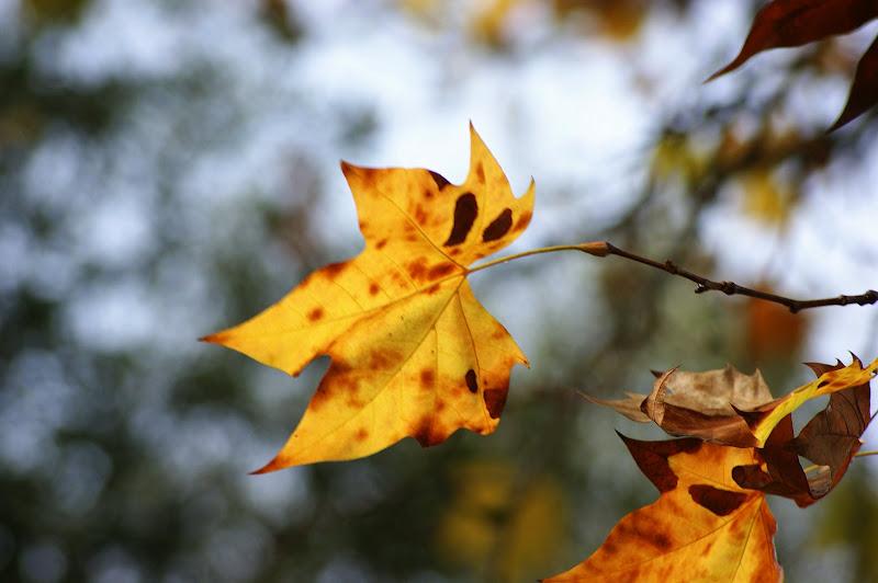 Platanos no Outono
