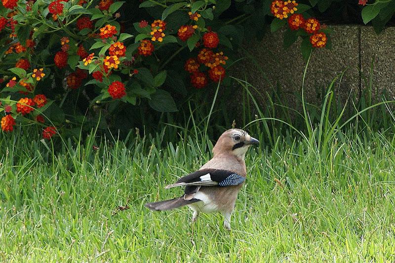 Pássaro na relva, o Gaio