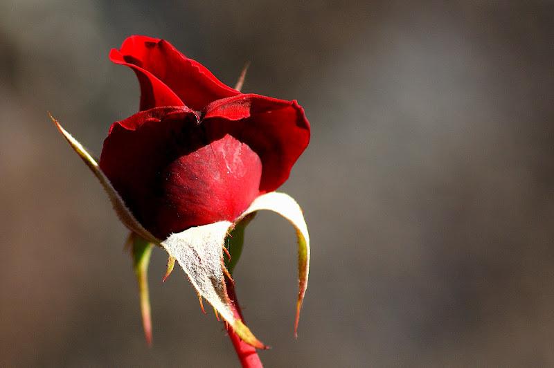 As Rosas do quintal da Minha mãe