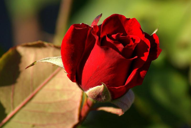 Botão de rosa vermelho