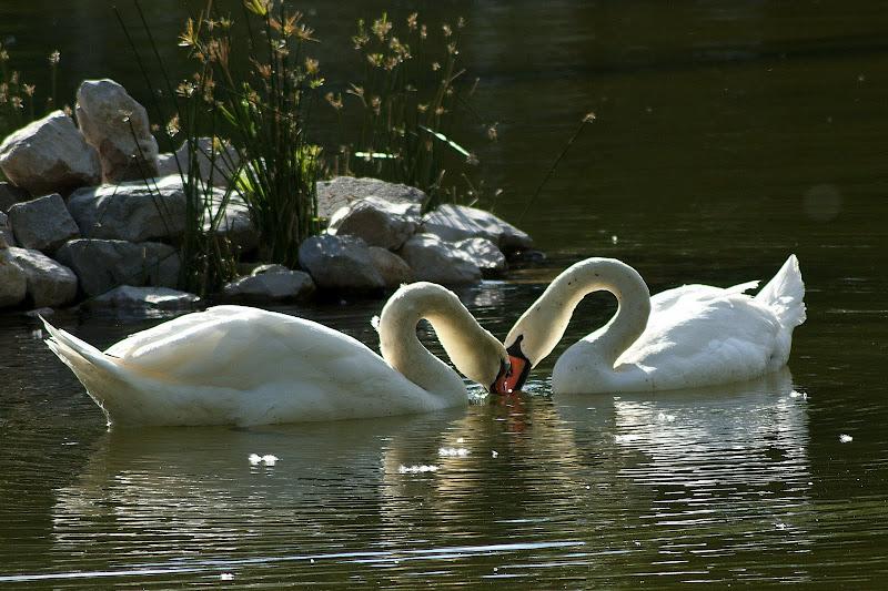 Momentos de ternura, cisnes no bonfim