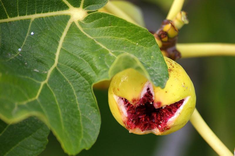 Figos da Serra do Louro