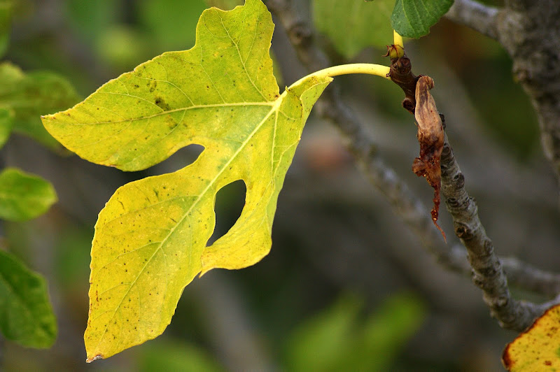Olhar O Outono, folha de figueira