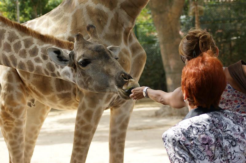 Girafa, Jardim zoológico de Lisboa