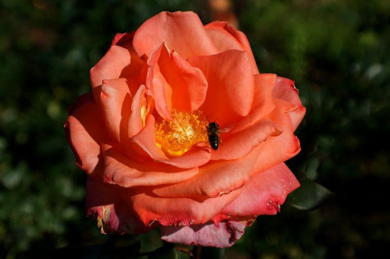 Rosas do Outono