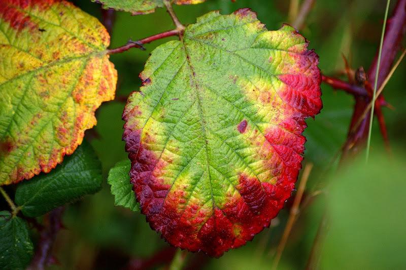 Folha de silva, Outono no Gerês